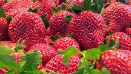 avril mai: fraises de saison