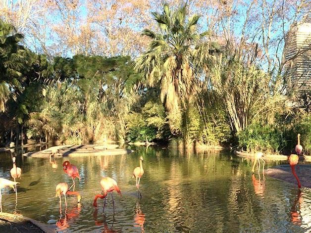 zoo de Barcelone: flamands roses