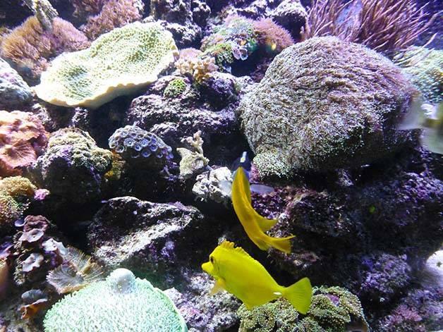 coraux aquarium