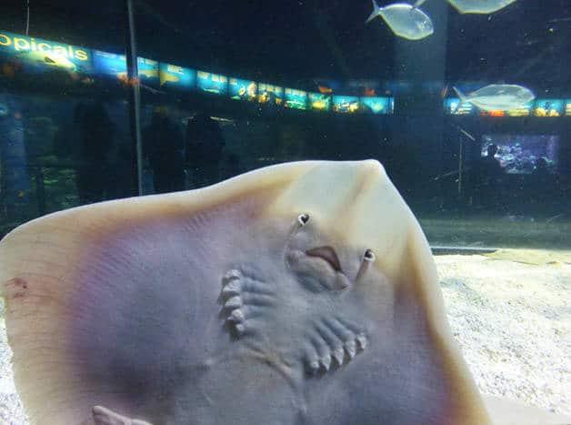 raie de l'aquarium Barcelone en famille