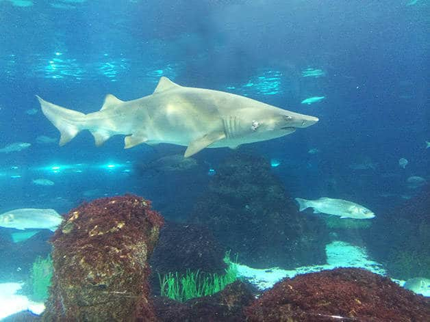 requin aquarium